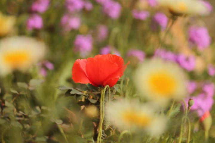 Poppy Flower - Patricks_PhotographY
