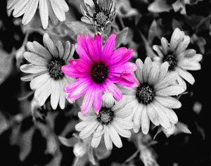 B&W and 1 Colored Daisy - JonesArtWorkS