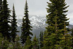Whistler through the trees