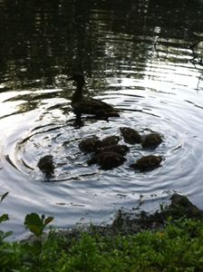 Mommy duck and her babies