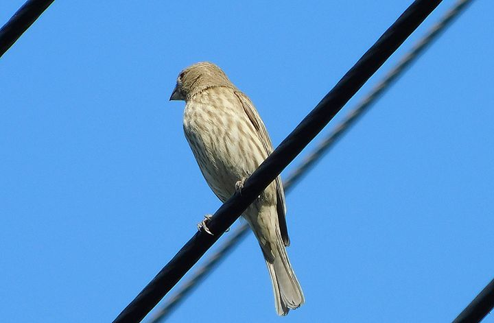 The House Finch - Jeronimo Rubio