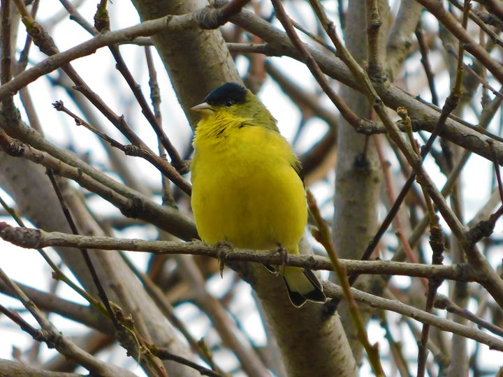 The Lesser Gold Finch Male - Jeronimo Rubio