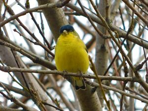 The Lesser Gold Finch Male
