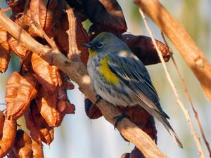 The Lesser Gold Finch