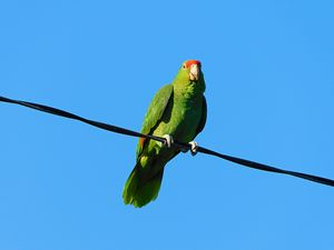 The Red-crowned Parrot
