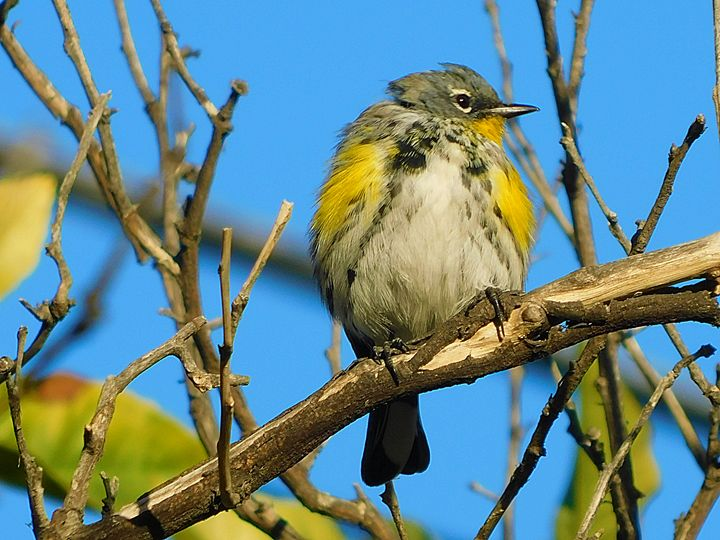 The Lesser Gold Finch - Jeronimo Rubio