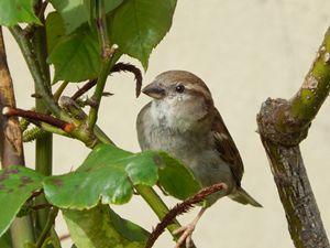 Stunning Sparrow