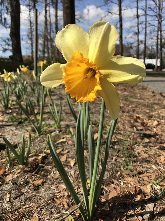 Just a yellow flower - K. Herring