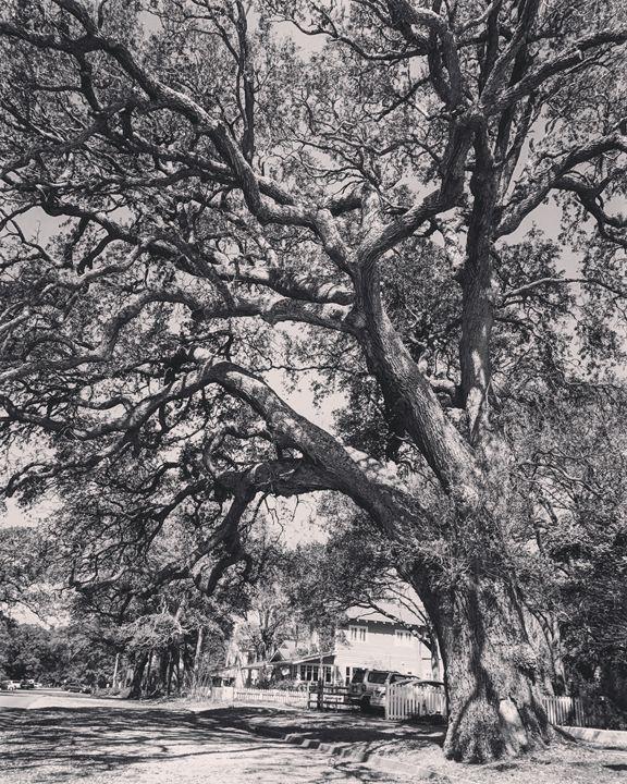Gorgeous Oak - K. Herring
