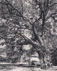 Gorgeous Oak