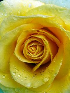 Raindrops on Yellow Roses