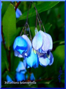 Billardiera heterophylla
