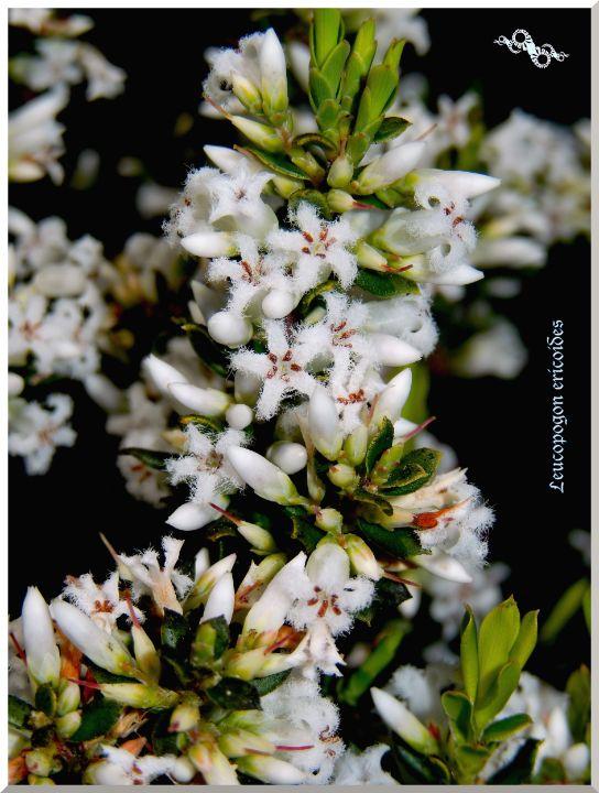 Leucopogon ericoides - tasmanianartist D1g1tal-M00dz
