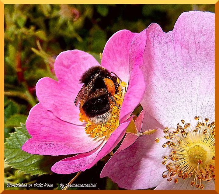 Rosa rubiginosa - tasmanianartist D1g1tal-M00dz