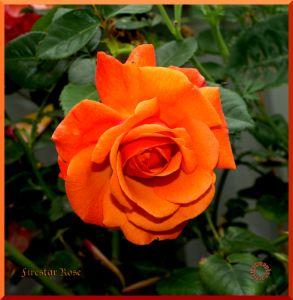Firestar Rose