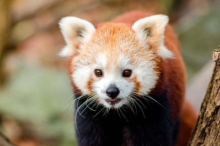 Beautiful Red Panda - For The Love Of Animals