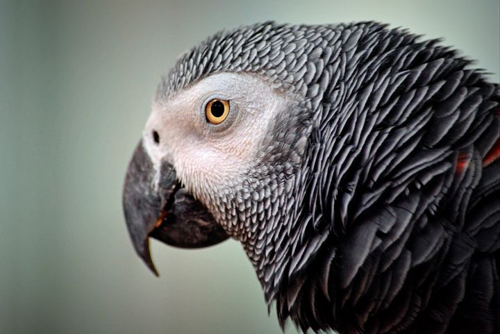 African Grey - For The Love Of Animals