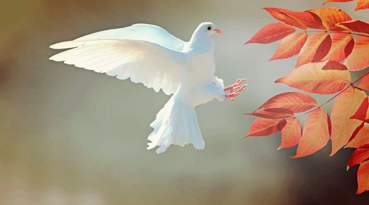 Dove In Flight - For The Love Of Animals