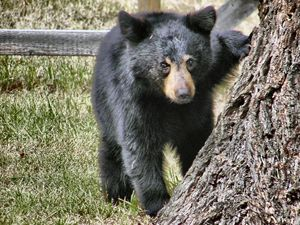 Adorable Black Bear