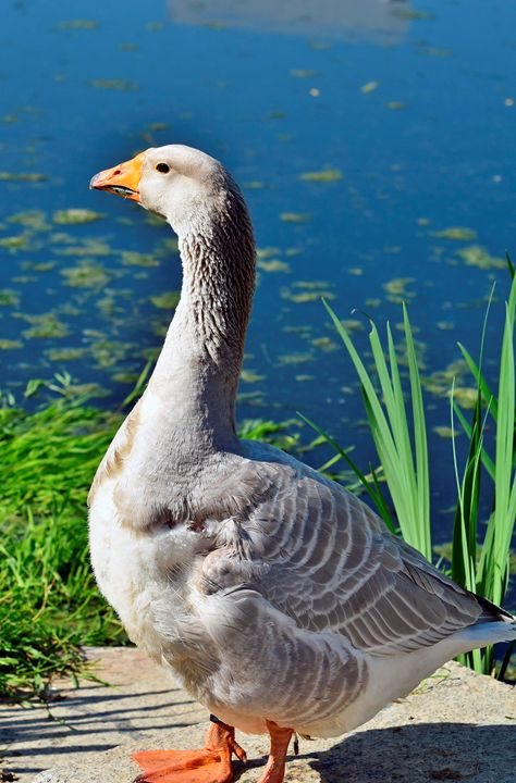 Beautiful Goose - For The Love Of Animals