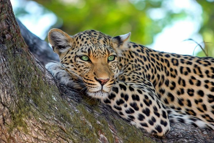 Lazy Leopard - For The Love Of Animals
