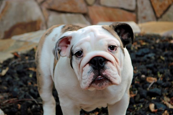 Gorgeous English Bulldog. - For The Love Of Animals
