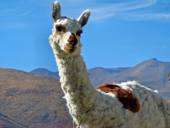 Gorgeous alpaca - For The Love Of Animals