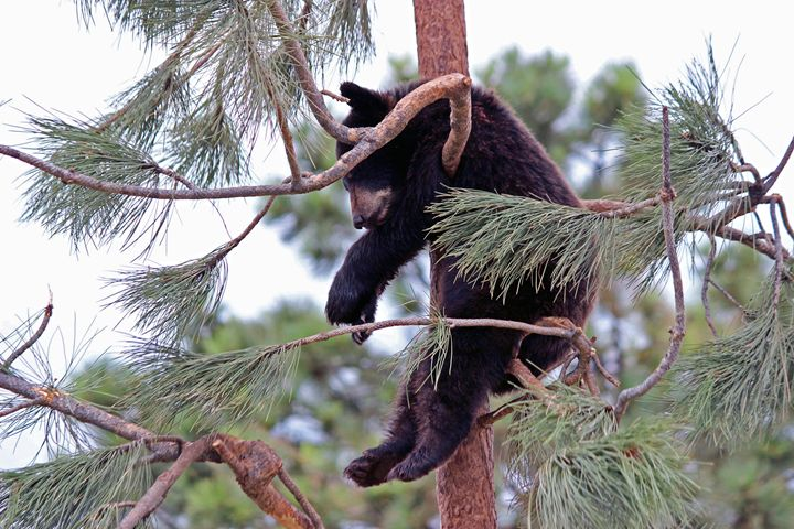 Black bear hanging in a tree. - For The Love Of Animals