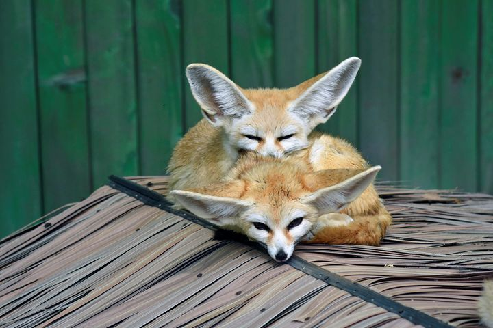 Foxes - For The Love Of Animals