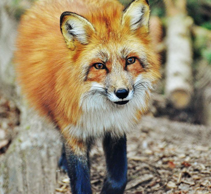 Gorgeous fox - For The Love Of Animals