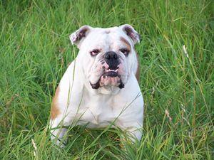 Cute English Bulldog - For The Love Of Animals