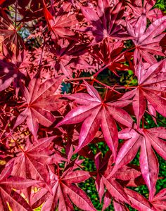 Japanese Maple - MJB DigiArt