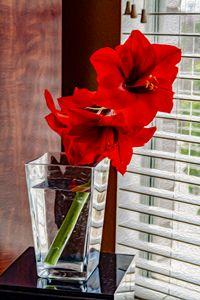 Red Amaryllis - MJB DigiArt
