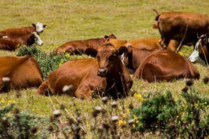 Big Sur Cows