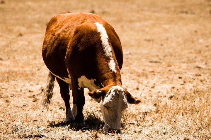 Big Sur Cows - Jeff Rawlings Photography
