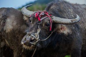 Asian buffalo