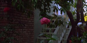George's Rose