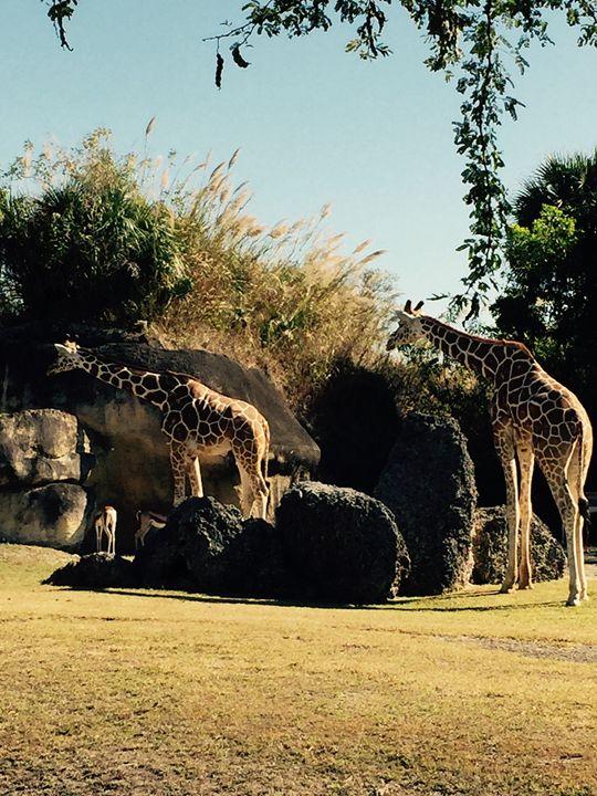 Giraffes - Crystal Naranjo
