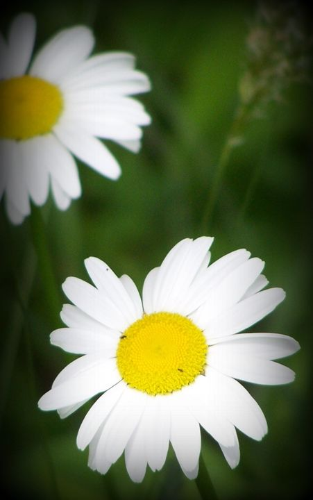 Daisy Wallpaper 2015123008 - Rina J White