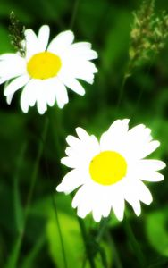 Daisy Wallpaper 2015123007