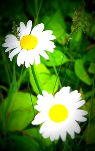 Daisy Wallpaper 2015123006