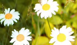 Daisy Wallpaper 2015123003