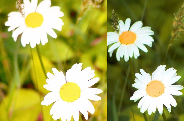 Daisy Wallpaper 2015123001 - Rina J White