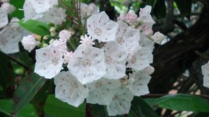 Mountain Laurels 136101122 - Rina J White