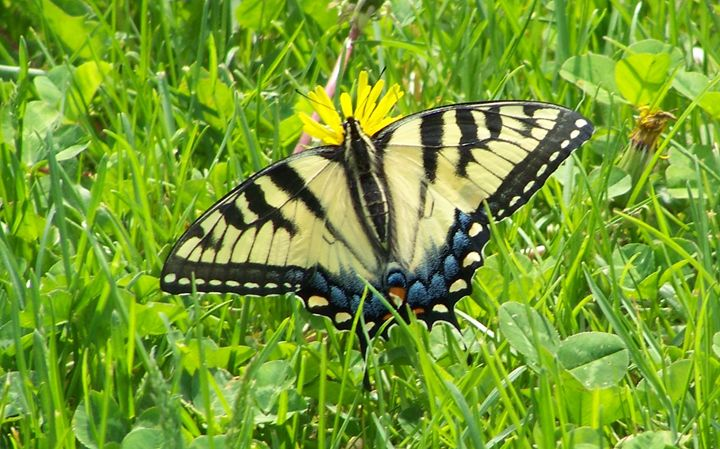Eastern Tiger Swallowtail 140514_001 - Rina J White
