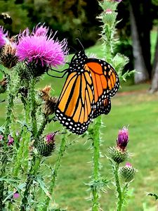 Monarch on the thistle - True Vine Art and Design