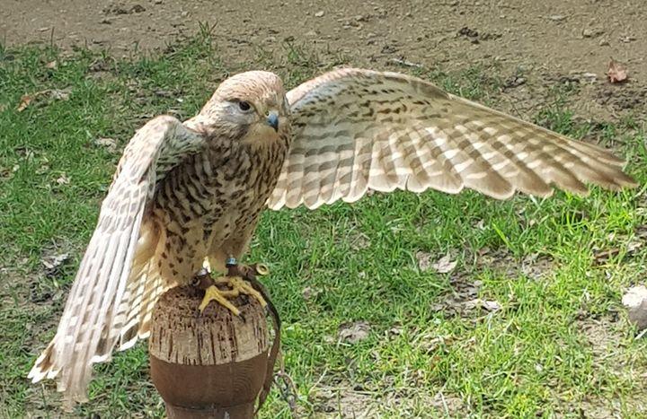 Hawk - Couper Creations