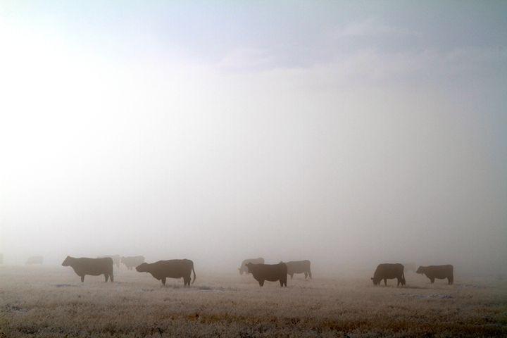 High Prairie Cattle - Ed Riche
