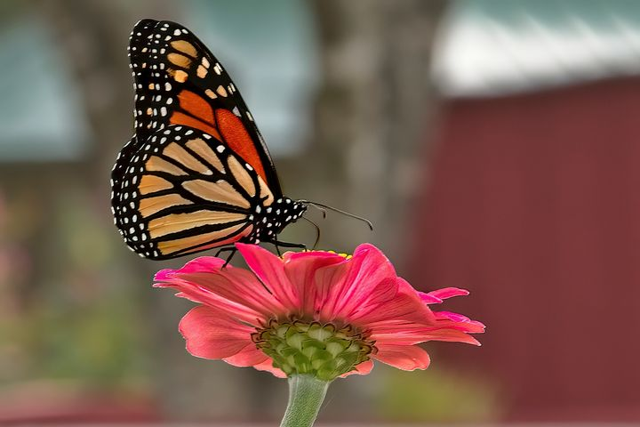 Monarch - Impressions