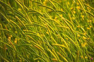 Windswept Grasses - Painterly 2